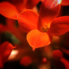 (lincolngomes) Tags: plant nature natureza flor florvermelha focus small red flower