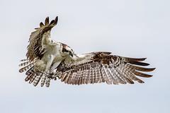 Home Maintenance (Andy Morffew) Tags: osprey female twig inflight bif nesting tigertailbeach marcoisland florida andymorffew morffew naturethroughthelens