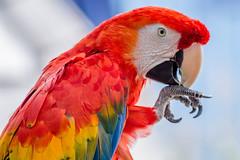 Scarlet Macaw (backyardzoo) Tags: bird macaw parrot scarlet sunrays5 coth5