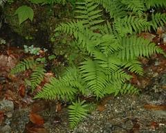 Fern near Trout Brook (rochpaul5) Tags: fern lichen green orange woods forest woodland nature adk adirondack warren spring leaves gravel botany dendrite ecology