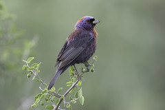 Varied Bunting (www.studebakerstudio.com) Tags: varied bunting variedbunting bird nature desert arizona studebaker greenvalley maderacanyon