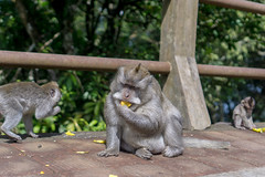 Bali, Indonesia (DitchTheMap) Tags: 2016 animal family food jungle munduk nature seasia ubud wildlife adult ape baby bali balinese banana brown crabeating cute environment expression face fascicularis flickr forest fruit green indonesia island little longtailed macaca macaque mammal monkey natural play portrait sitting small tasty travel tropical wall wild young