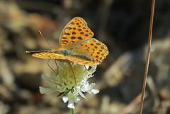 Butterflies of Bulgaria: Queen of Spain fritillary (Elisa1880) Tags: bulgaria bulgarije vlinder butterfly rila mountains rilagebergte kleine parelmoervlinder issoria lathonia queen spain fritillary govedartsi