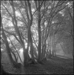 hornbeams (steve-jack) Tags: hasselblad 501cm 50mm ilford delta 100 hertfordshire medium format film 120 6x6 perceptol