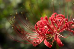 Lycoris (shp2100) Tags: lycoris hirosaki japan aomori