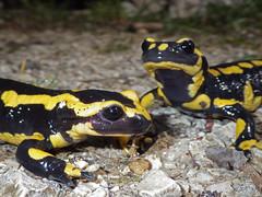 Gebänderte Feuersalamander (Salamandra salamandra terrestris) (christa.rohrbach) Tags: fire salamander amphibians salamandra barred terrestris amphibia amphibien salamandre anfibi feuersalamander gebänderter pezzata amphibies tachetée salamandretachetée salamandrapezzata