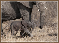 Mother Elephant with new born - Tarangire -Tanzania (Helen A Jones) Tags: elephant tanzania tarangire nikond3s