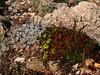 Eriogonum ovalifolium var. nivale &  Eriogonum umbellatum var. porteriDSC05789 (sierrarainshadow) Tags: eriogonum umbellatum var ovalifolium nivale porteri