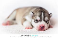 Puppies: Day seven, female 3 (Emyan) Tags: dog pets animals pups puppies husky ukraine siberian kharkiv newborns