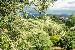 (Mickey Katz) Tags: travel vacation italy house tree green beautiful beauty clouds landscape photo amazing europe italia branch view cloudy awesome olive culture dramatic tourist tuscany oil oliveoil agriculture breathtaking toscania olivetree bestshot supershot flickrsbest amazingphoto abigfave anawesomeshot flickrlovers