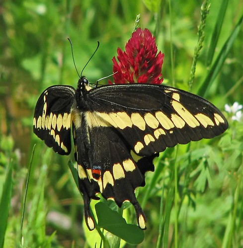 Giant swallowtail on red clover