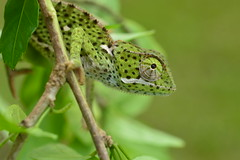 Mr. Spotty (Leela Channer) Tags: africa sea white plant black green eye beach nature leaves animal yellow coast seaside kenya reptile spot lizard spots spotty spotted creature chameleon mombasa unidentified