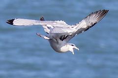 Tumbling Kittywake & Fulmar (coopsphotomad) Tags: sea nature canon wildlife gull 7d mk2 seabird seabirds birdbirds kittywake