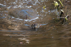 Snapping Turtle (Laura Erickson) Tags: newyork animals places turtles ithaca reptiles snappingturtle cornelllabofornithology