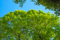 New green (Nihon Zaichuu Scotto) Tags: tree nature colors spring colorful greenery