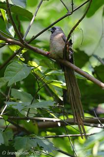 Speckled Mousebird, Coliou rayé (Colius striatus) - Brazzaville, CONGO - 2015-05-09