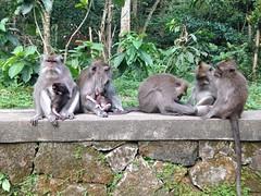 Les singes d'Ubud
