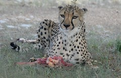 Eating Spaghetti? (zenseas) Tags: africa camping camp vacation food pet pets holiday dinner brothers eating explore meal cheetah supper spaghetti saddam namibia dinnertime keetmanshoop gaddafi acinonyxjubatus explored quivertreeforest quivertreerestcamp