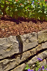 the first skink I ever saw (carmacke~) Tags: lizard tamron macrophotography wideanglelens texasskink beneficialreptile