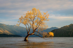 That Wanaka Tree (arsaa) Tags: thatwanakatree leaves sunrise mountain range mountainrange lake wanaka willow tree willowtree autumn newzealand nzl 2016 arsaa golden lakewanaka
