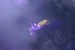 L'heure bleue - Blue hour (Solange B) Tags: blue blur flower fleur nikon violet bleu flou aster d800 105mm solangeb