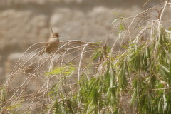 Amman - Project Office Garden (jrozwado) Tags: bird garden asia amman jordan الأردنّ عمّان