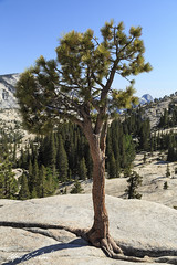 Olmstead Point Bristle Cone Pine (Alfred J. Lockwood Photography) Tags: california summer mountain nature landscape nationalpark afternoon roots granite yosemitenationalpark clearsky bristleconepine sierramountains olmstedpoint alfredjlockwood