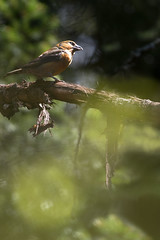 Fichtenkreuzschnabel  (Loxia curvirostra) (Chris Nature) Tags: wild orange rot nature bayern wildlife gelb grn wald vogel fichte bayerischer kreuzschnabel wildniss naturfotographie