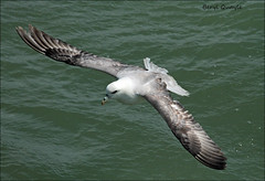 Flying Fulmar - Peel breakwater. (berylquayle) Tags: sea water flying waves feathers fulmar peel takeoff breakwater