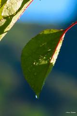 Rugiada (Incommensurabile) Tags: nature leaves nikon natura rugiada 180mm