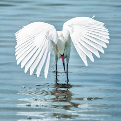Reddish egret (white morph) foraging #6 (billd_48) Tags: winter nature birds fl egret whitemorph wadingbirds reddishegret