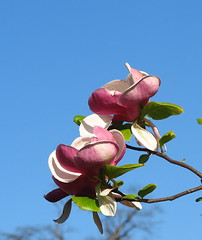 Magnolia time (Anna's 50) Tags: flowers blossom nature canong1x powershotg1x g1x canonpowershot canon compact