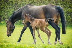 Mutterglck (fresch-energy) Tags: horse nature animal child sony natur mother happiness kind mutter pferd tier a77 foal glck fohlen