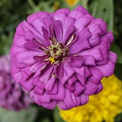 Blossom (AR_the old guy) Tags: toronto ontario closeup garden raw highpark purple blossom bokeh toned colbournelodge lr57 pa053173