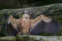 """""""... komme in meine Arme ... Komm her"""" (Fotos4RR) Tags: bird vulture vogel geier"""