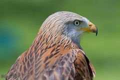 Red Kite (parry101) Tags: red kite birds for centre kites international prey icbp