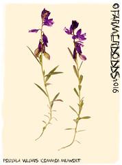 Polygala vulgaris 'Common Milkwort' (farmer dodds) Tags: wildflower herb polygala milkwort polygalaceae polygalavulgaris commonmilkwort