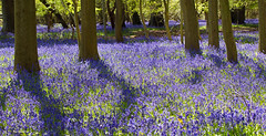 Bluebells near Hambleden - Explored 24 May 2016 (Miche & Jon Rousell) Tags: blue trees sunlight bluebells woodland woods shadows walk hike beech hambleden