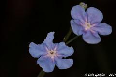 Omphalodes nitida Hoffmanns. & Link (Lus Gaifm) Tags: flower macro planta nature natureza flor galiza plantae touro boraginaceae navelwort lusgaifm omphalodesnitida alfeiqueportugus