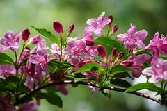 (Light Echoes) Tags: plant flower philadelphia zoo spring bush blossom sony may bloom philadelphiazoo 2016 a6000