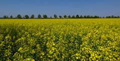 Let there be yellow (langkawi) Tags: yellow jaune germany gelb bloom raps brandenburg rapeseed
