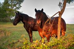 Caballos (ccc.39) Tags: horse caballos asturias