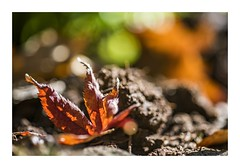 Memories of Autumn (red stilletto) Tags: autumn orange green bokeh autumnleaves autumnleaf thedandenongs alfrednicholasgardens sasafrass famousflickrfive