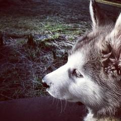 baby face (ameliabeare) Tags: dog puppy malamute alaskanmalamute