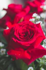 IMG_4138 (Josy'ta) Tags: rose rosas rosascolombianas flowers flores flor diadosnamorados love