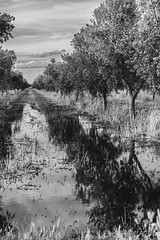 Les oliveres (ancoay) Tags: trees bw reflection tree water blackwhite agua reflejo aigua olivers reflexes aceituneros canon600d ancoay