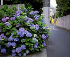 (  / Yorozuna) Tags: road plant flower color japan tokyo alley backalley violet alleyway  hydrangea    analogphotography bluepurple    6   mamiyarb67      hydrangeamacrophylla     blueviolet   kawadacho   shinjukuward  filmscanning mamiyarb67professionals    wakamatsukawada     mamiyasekorc138f90mm
