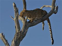 Leopards Leap (Sandra OTR) Tags: africa wild tree animal animals cat nationalpark big five leopard namibia etosha