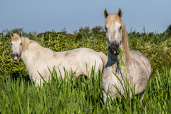 nom nom (WhiteViolette) Tags: horse green nature caballo cheval gras pferd