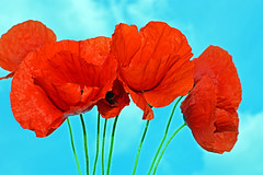 poppies (misi212) Tags: poppy